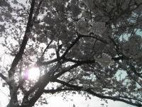 Sakurab09